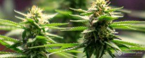Cannabis crystal