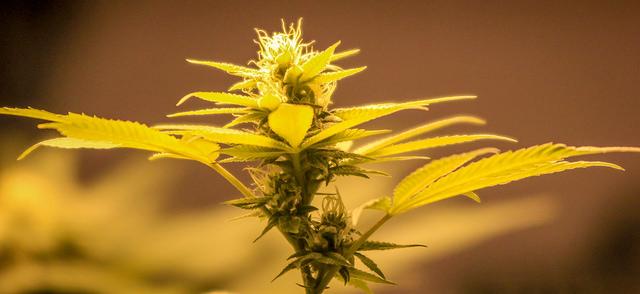 Cannabis flowering under LED light