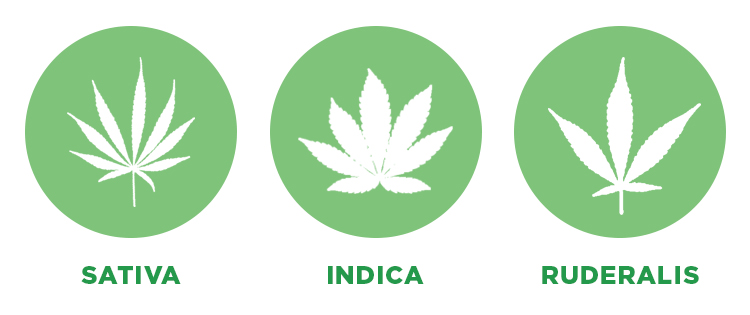 3 cannabis strains
