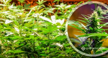 What are Cannabis Strains? Easy to Understand Cannabis Taxonomy