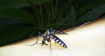 Going Anti-Malaria with Marijuana