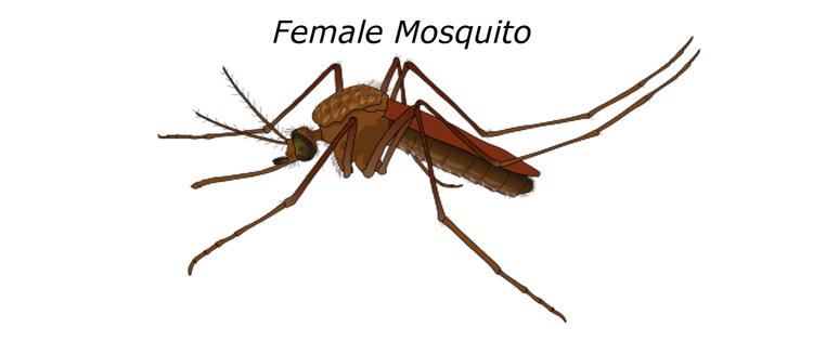 Female mosquito requires fresh blood to nurture her developing eggs.