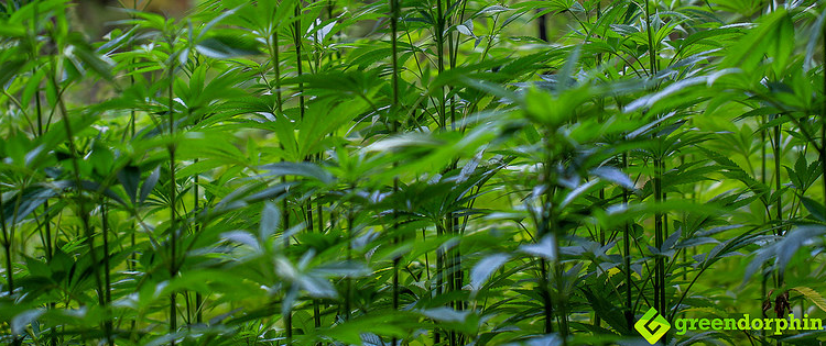 industrial hemp in Germany