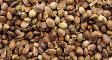Cannabis Seeds Explained