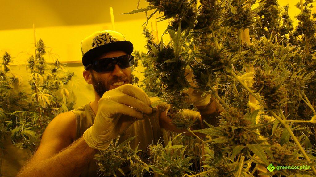 Growing cannabis in Uruguay