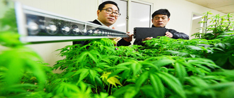 Medicinal Cannabis Coming To South Korea Grow Cannabis