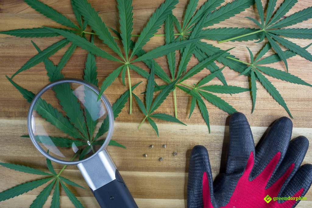 growing cannabis - grow your own weed