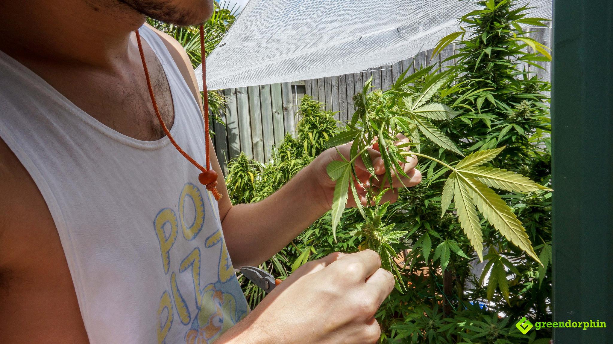 Grow Cannabis harvest stage