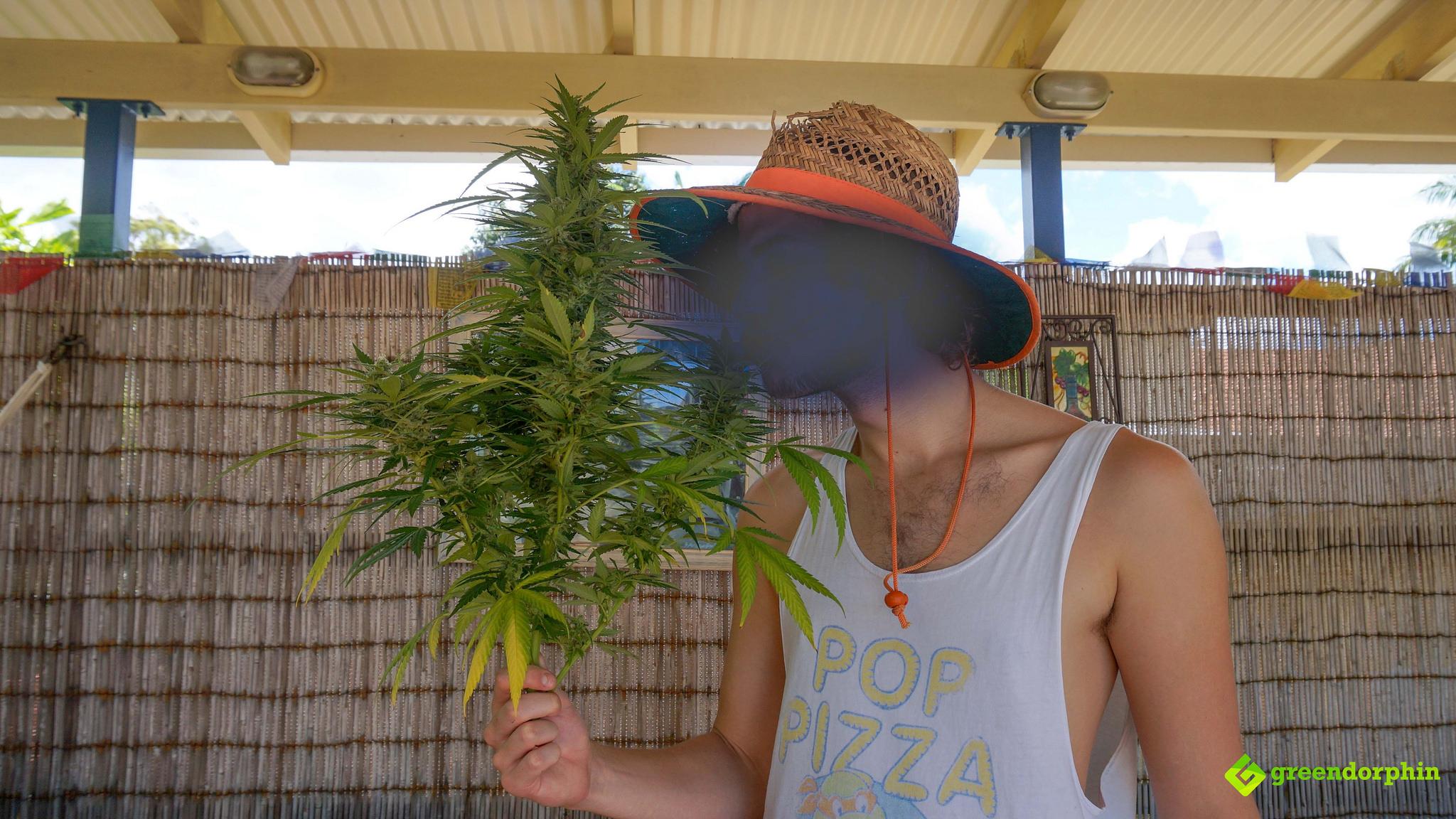 Grow Cannabis harvesting