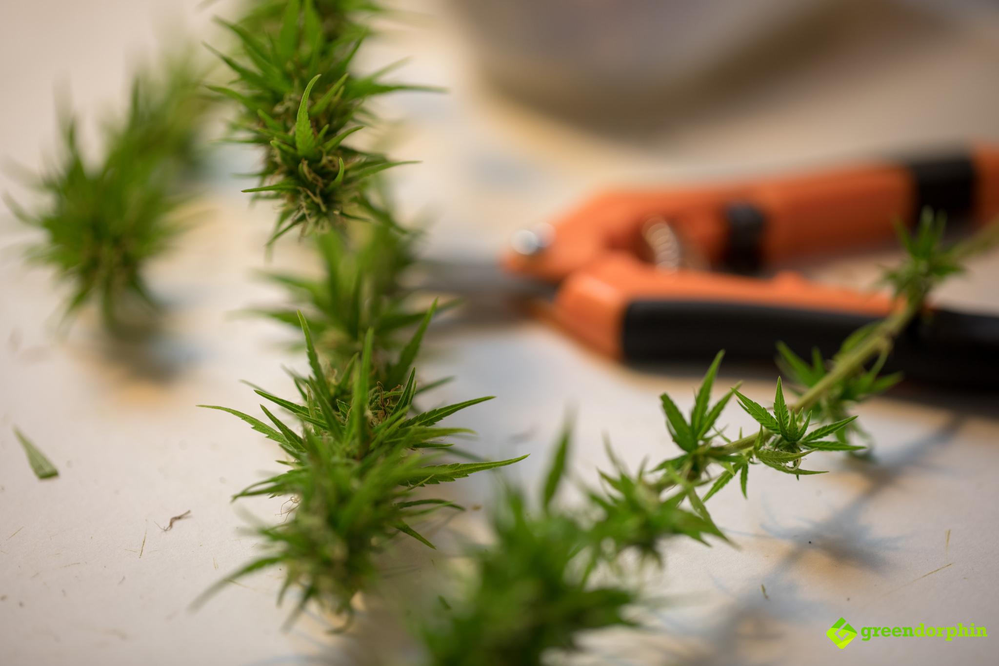 Grow Cannabis trim