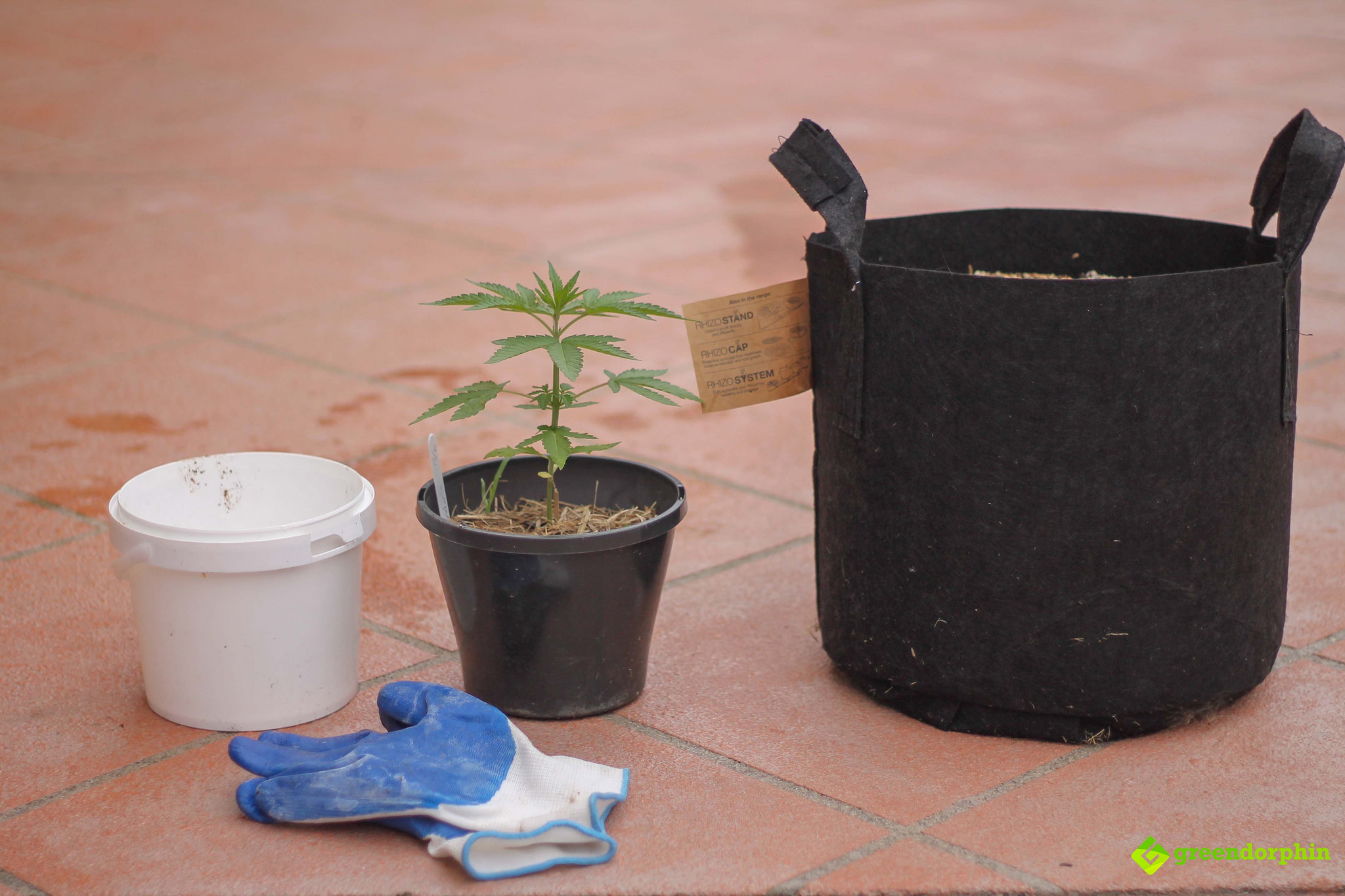Repot Your Cannabis Plants the test subject
