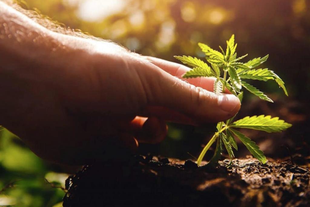 Planting cannabis seedling