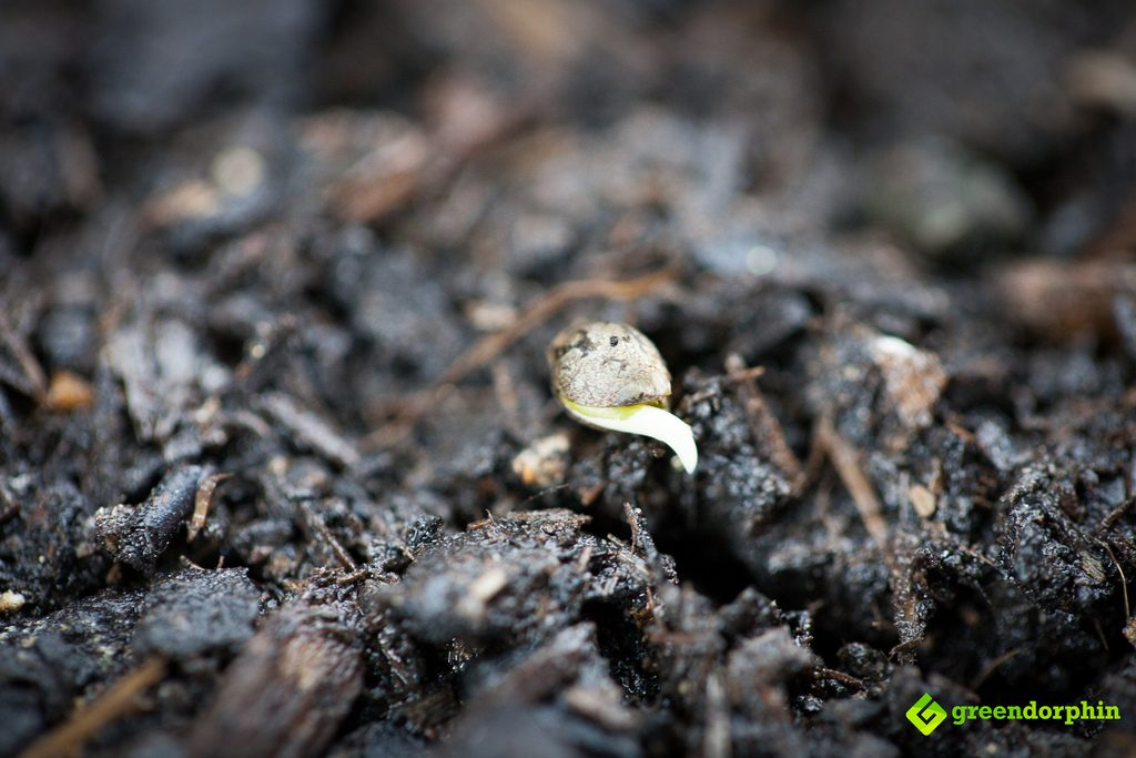 cannabis seed with sprout