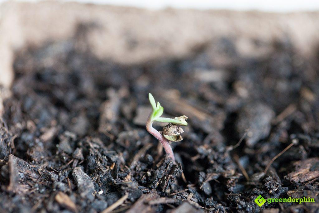 cannabis seedling in soil