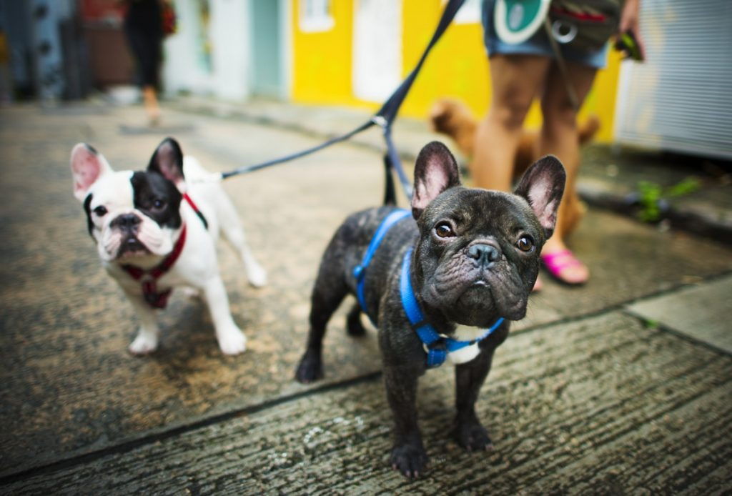 Frenchies - Benefits of CBD with Pets