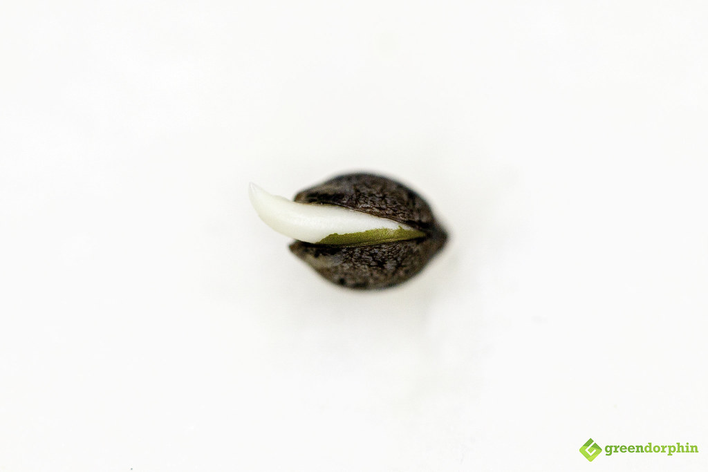 Cannabis seed with taproot